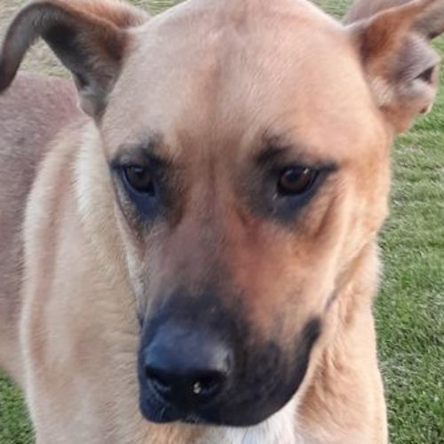Beau - German Shepherd x Great Dane Dog
