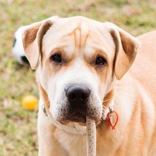 Butch (Hutch) - Labrador x Shar-Pei Dog