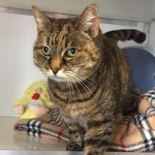Indie (96513) - Domestic Short Hair Cat