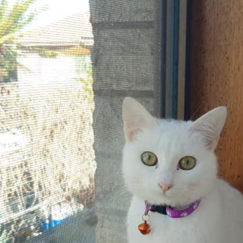 Ascot - Domestic Short Hair Cat
