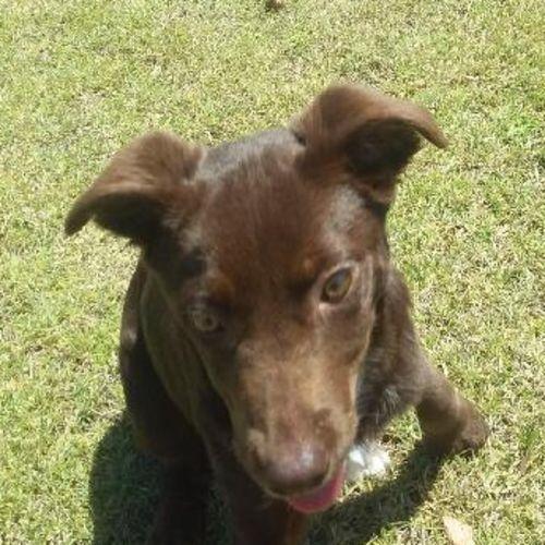 Lolly - Border Collie Dog