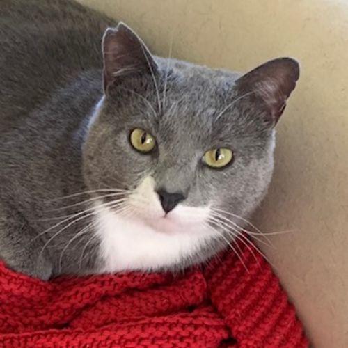 Buddy - Located in Frankston - Domestic Short Hair Cat