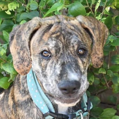Lloyd (Adoption Pending) - Mastiff x Labrador Dog
