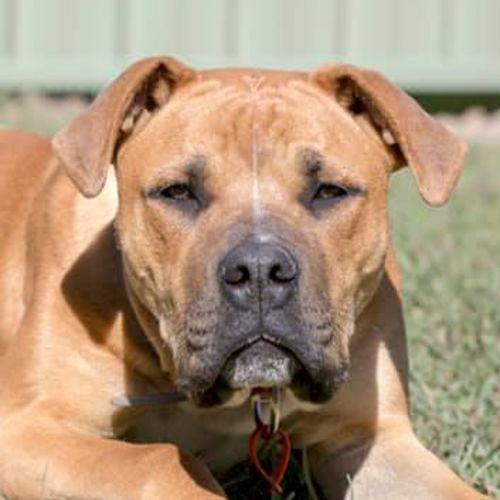 Barkley - Staffordshire Bull Terrier Dog