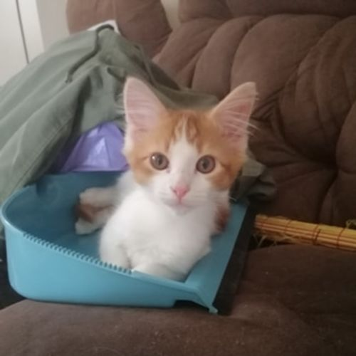 Ginge - Domestic Medium Hair Cat