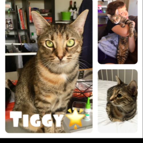 Tiggy - Domestic Short Hair Cat