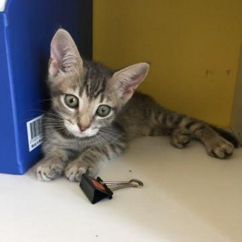 Stripe - Domestic Short Hair Cat