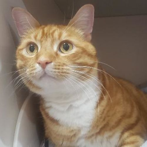 Jaffy - Domestic Short Hair Cat