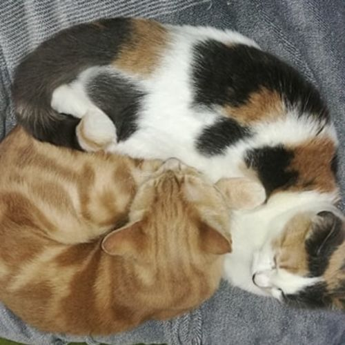 Chester and Jozie - Domestic Short Hair Cat