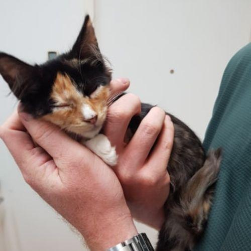 Ember - Domestic Medium Hair Cat