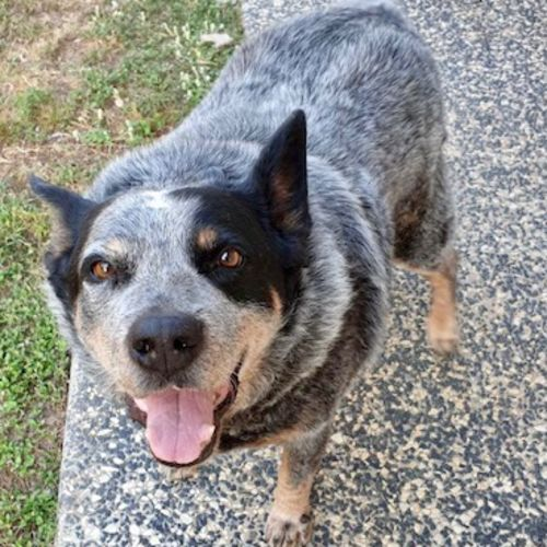 Squirt - Australian Cattle Dog