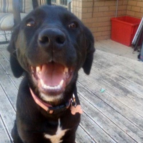 Orla 🧁🧁🧁 - Staffy Dog