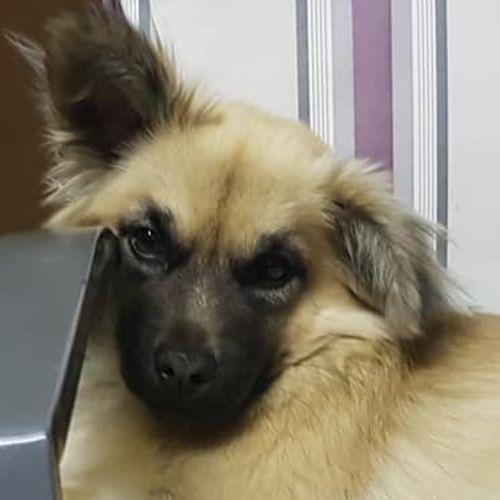 Pablo  - Chihuahua Dog