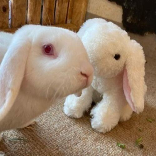 Ollie  - Lop Eared Rabbit