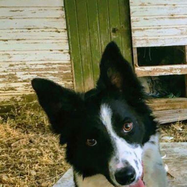 Kenya - Medium Female Border Collie Dog in NSW - PetRescue