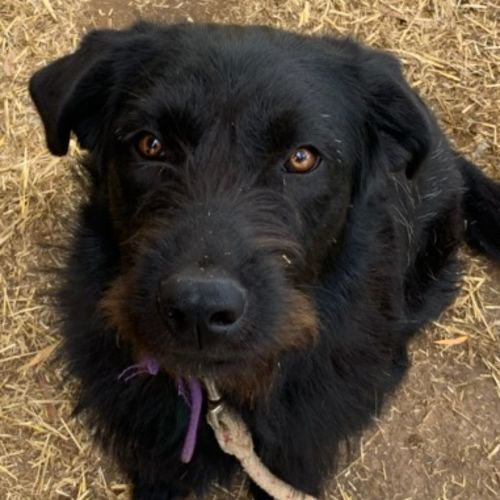 Charlie  - Labrador x Staghound Dog