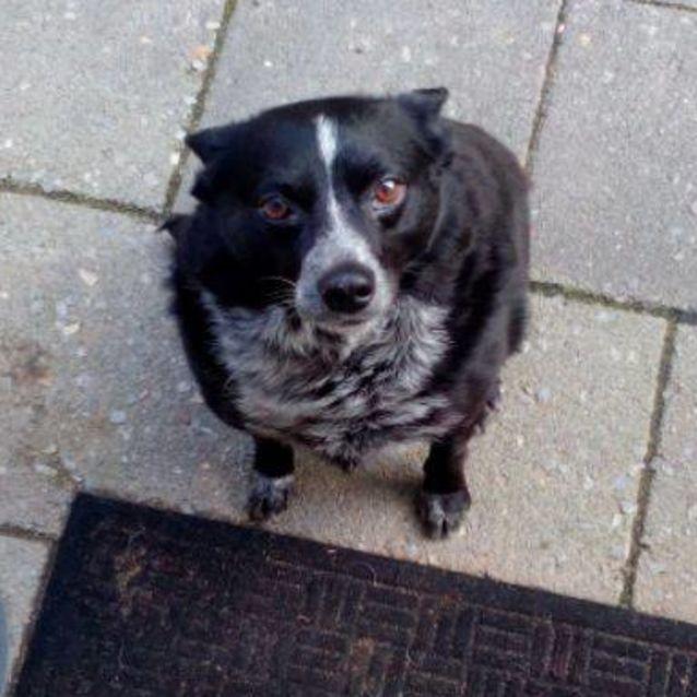 Oscar Dl1949 Small Male Blue Heeler X Chihuahua Dog In Wa Petrescue