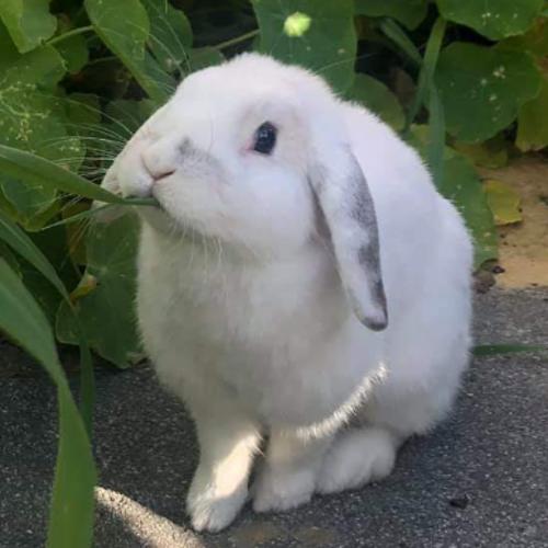 Luna - Mini Lop Rabbit