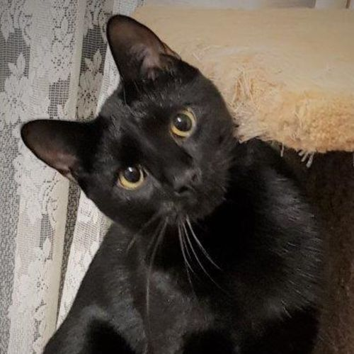 Meriville Black - Domestic Short Hair Cat