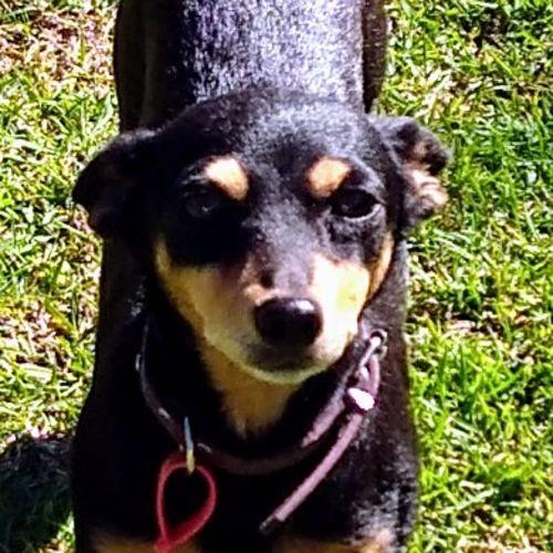Bindi - Miniature Fox Terrier Dog