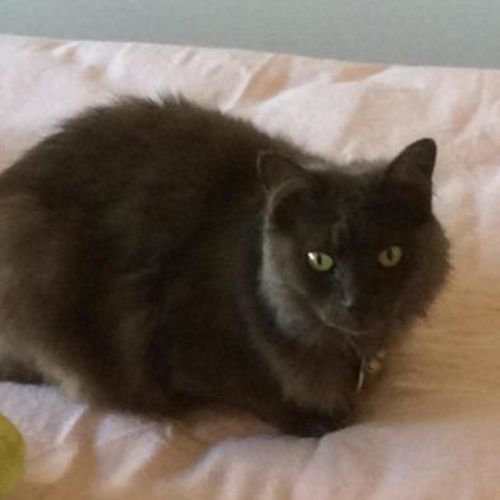 Lady Misty - Visit Me at PetStock Mandurah! - Domestic Long Hair x Russian Blue Cat
