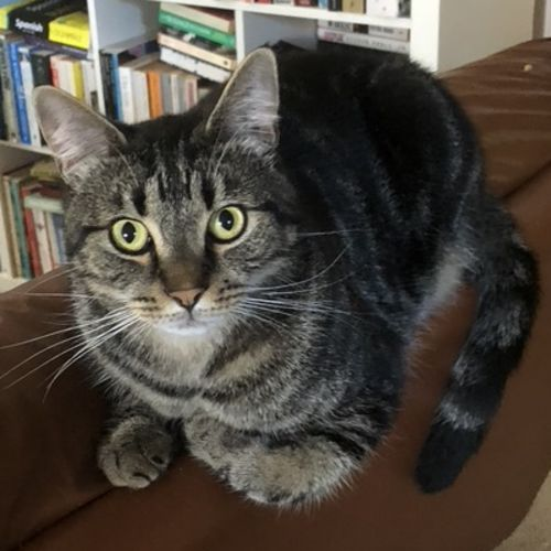 Mick - Domestic Medium Hair Cat