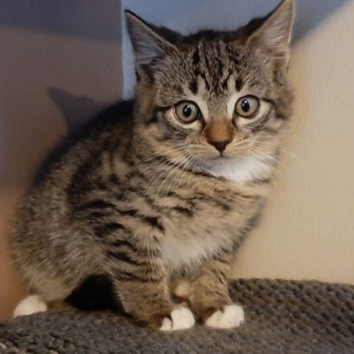Ralph - Domestic Short Hair Cat