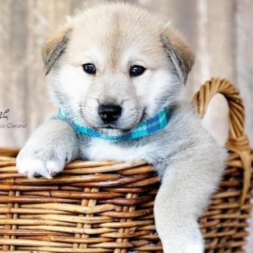 Ajay - Husky Dog