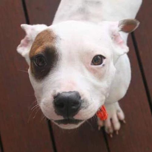 Dexter - Bull Arab Dog