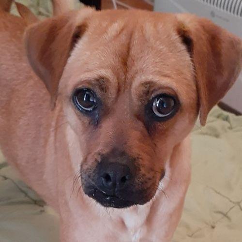 Mack - Pug Dog