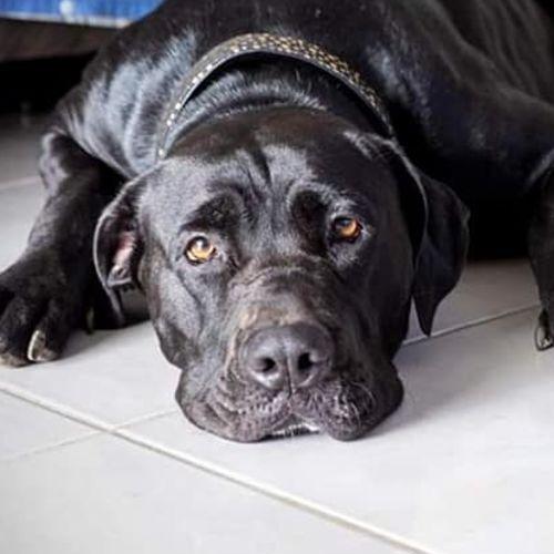 Angel (Adoption Pending) - Labrador x Mastiff Dog