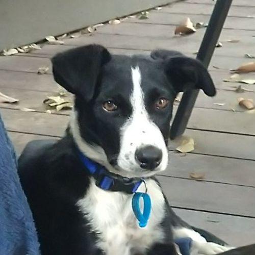 Basil - Border Collie Dog