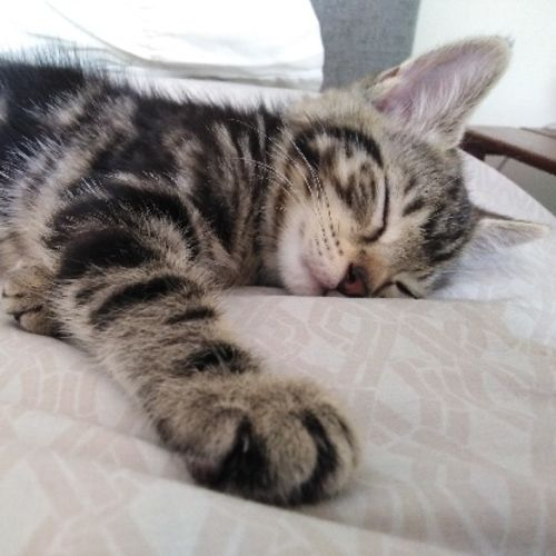 Tiger 🐯 - Domestic Short Hair Cat