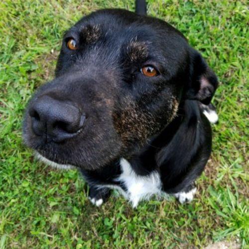 Ela - Wolfhound Dog