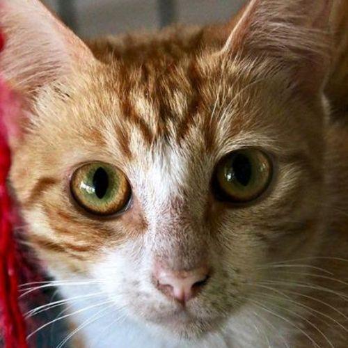 Nihari - Domestic Short Hair Cat