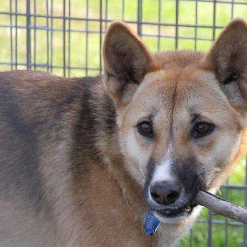 Tash - Dingo Dog