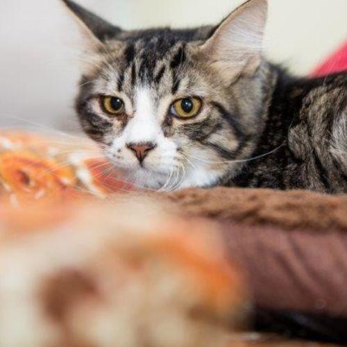 Montee - Domestic Short Hair Cat