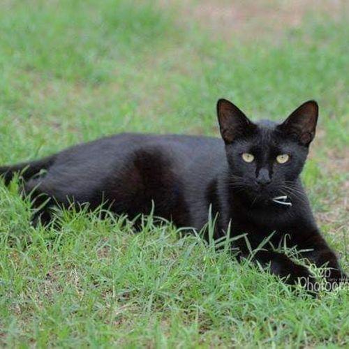 Benny - Domestic Short Hair Cat
