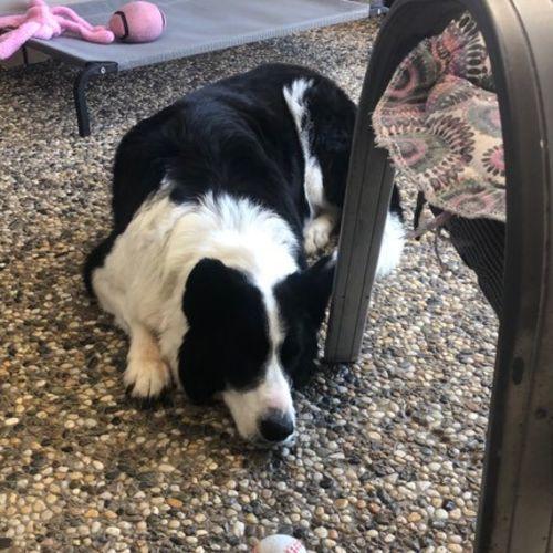 Rex - Border Collie Dog