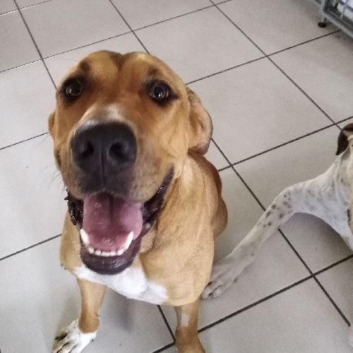 Scooby Doo (on adoption trial) - Mastiff Dog