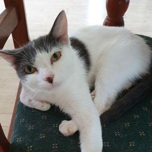 Elsa - Domestic Short Hair Cat