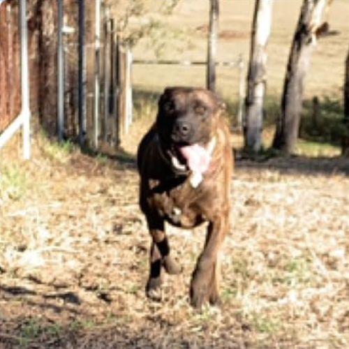 Bazza - Amstaff Dog