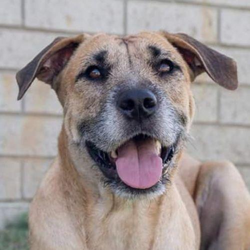 Darla - Wolfhound Dog