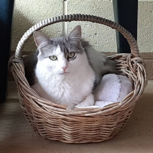 Bunny. $200. Already in foster care thanks :) - Domestic Short Hair Cat