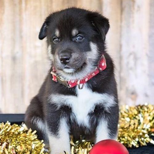 Axel  - Husky Dog