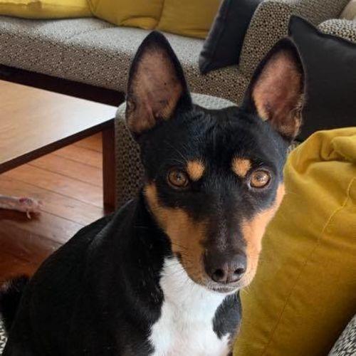 Mickey - Basenji Dog