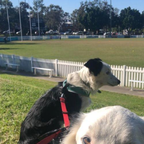 Gatsby and sascha - Border Collie Dog