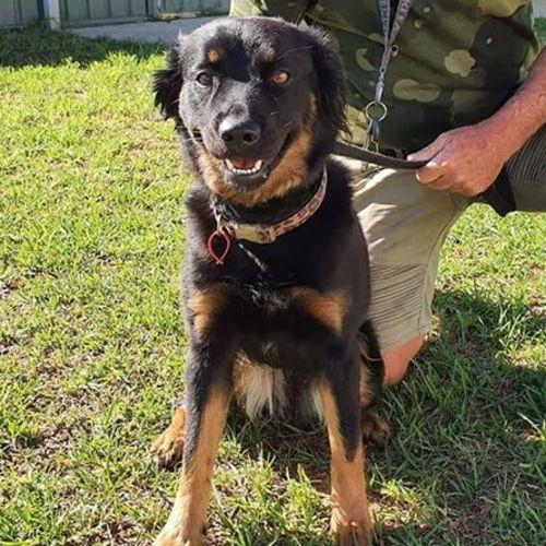 Roxy DL2429 - Kelpie Dog