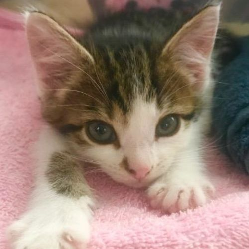 Pip Little - Domestic Short Hair Cat