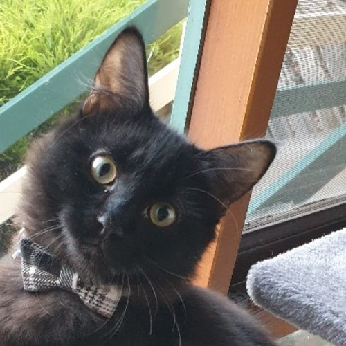 Gil - Domestic Medium Hair Cat